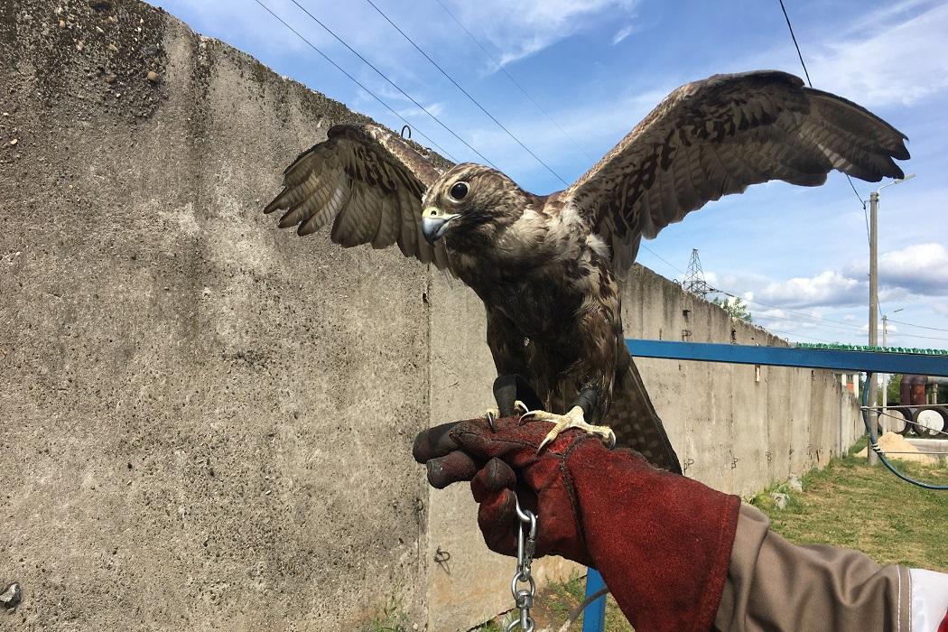 Сокол-балобан Облако на руке специалиста во время обхода территории МПС г.Чебоксары